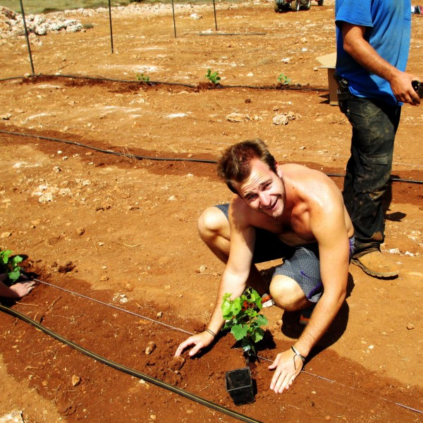 Brett Karp a Guest of the Jerusalem Heritage House helps cultivate the land of Israel.