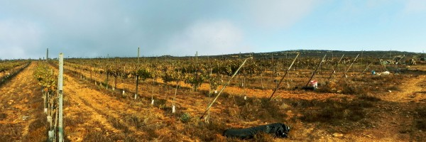 a Panoramic view of the Vineyard, that was Harvested by The Jerusalem Heritage House Guests.