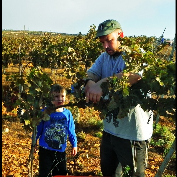 Rabbi Ben Packer Director of the Jerusalem Heritage House and His son Meir Packer, Pick grapes to be made into wine.