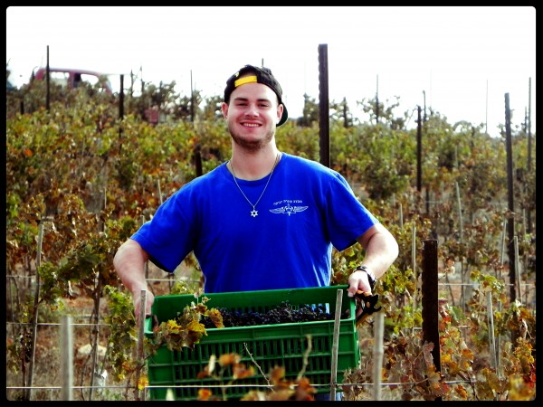 Meir Morozov a Guest and Lone Soldier of the Jerusalem Heritage House, Carries a Basket of grapes to be turned into delicious wine.