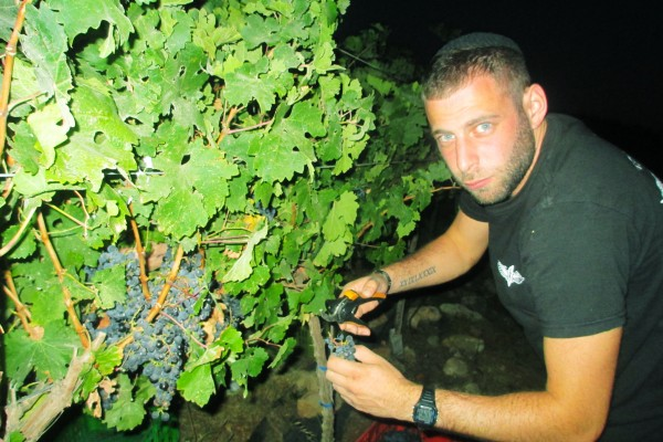 Alex Winston Staff of The Jerusalem Heritage House Harvests Gapes in the Shomrom