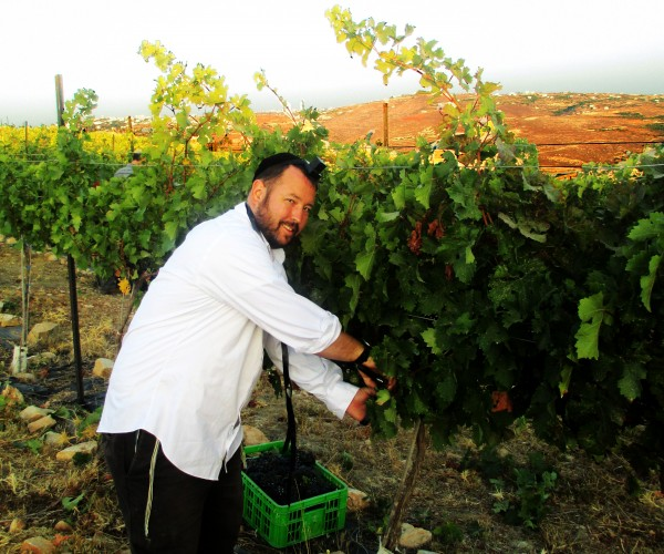 Rabbi Ben Packer Director of the Jerusalem Heritage House, Harvests the land in the shomron, by picking grapes.