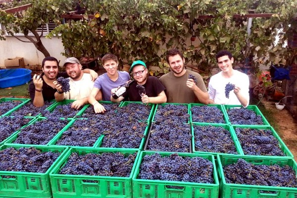 -Tons and tons of grapes harvested