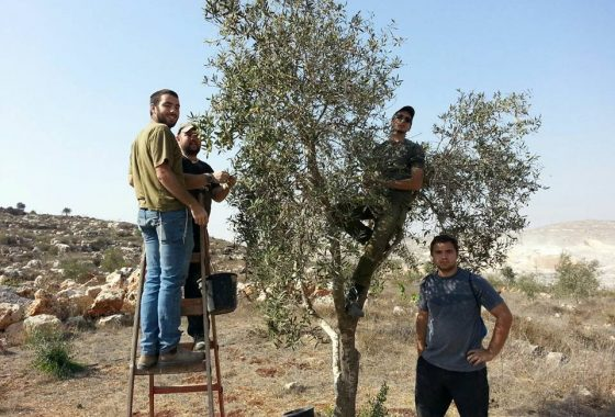 Great day of olive picking and house renovation in the Shomron!