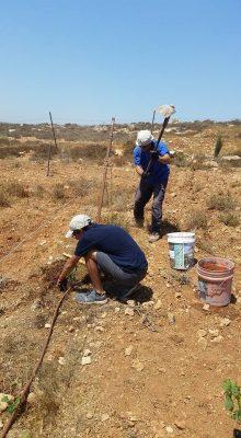 Planting grape vines in the Shomron for Tu B'av!