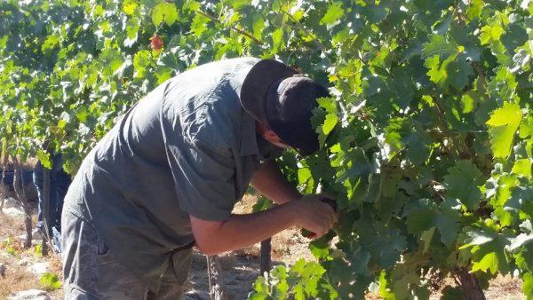 Grape harvest in Pnei Kedem