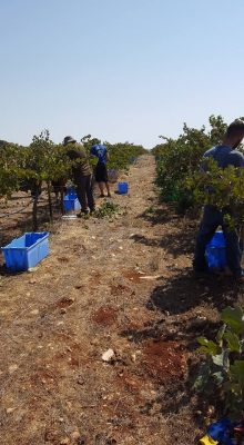 another grape harvest in the Shomron today!