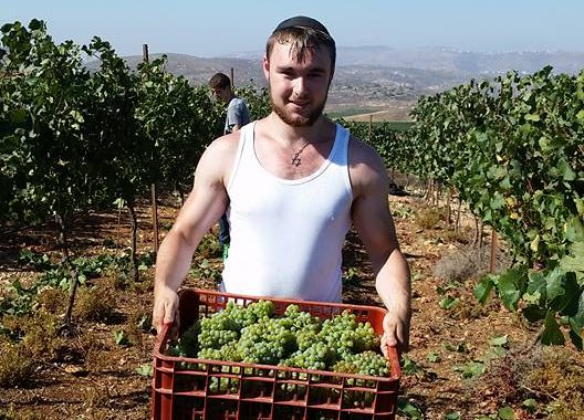 The first grape harvest of the year!