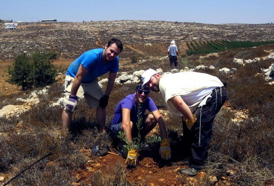 Planting a Olive Grove in Aish Kodesh