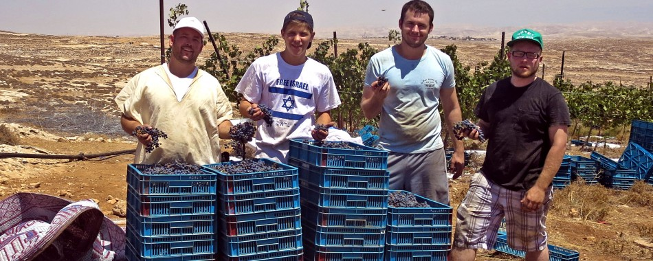 First Grape Harvest of the Season